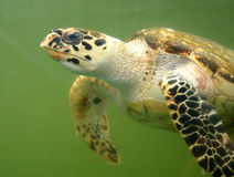 Sea turtle underwater Royalty Free Stock Images
