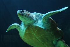 Sea turtle underwater Royalty Free Stock Image