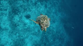 Sea turtle underwater against colorful reef with ocean waves at surface water. Turtle swimming in clear blue water