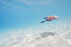 Sea turtle underwater. Blue background royalty free stock photos