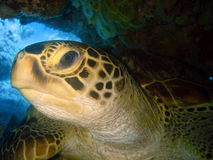 Sea turtle underwater. Close up of sea turtle head underwater Stock Images