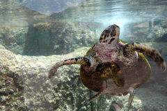 Sea Turtle underwater Royalty Free Stock Photography