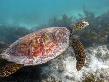 Sea turtle underwater Stock Photos