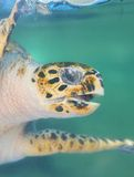 Sea turtle underwater Stock Photo