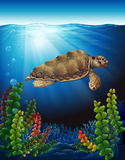 A sea turtle underwater. Near the seaweeds Stock Images