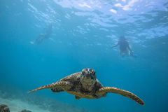 Sea Turtle Underwater. In the ocean. Loggerhead in wild nature habitat royalty free stock images