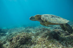 Sea Turtle Underwater. In the ocean. Loggerhead in wild nature habitat royalty free stock photo