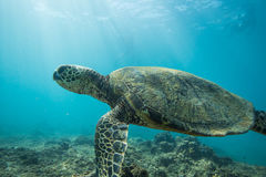 Sea Turtle Underwater Stock Images