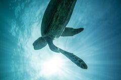 Sea Turtle Underwater. In the ocean. Loggerhead in wild nature habitat royalty free stock photos