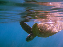 Sea turtle underwater photo. Sea turtle photo close to surface underwater Maui Hawaii Royalty Free Stock Photo