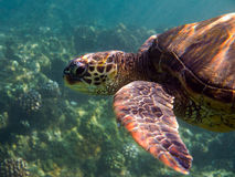 Sea turtle underwater photo Stock Photos