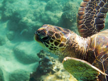 Sea turtle underwater photo Stock Images