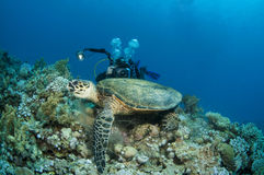 Sea turtle and underwater photographer Royalty Free Stock Photo