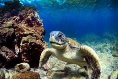 Sea turtle underwater Stock Photography