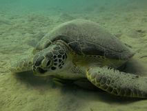 Sea turtle underwater Stock Image