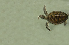 Sea turtle underwater sick small little nature concept Royalty Free Stock Photos