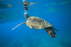 Sea Turtle Underwater. Sea turtle swimming in blue sea under water surface over coral reef stock photos
