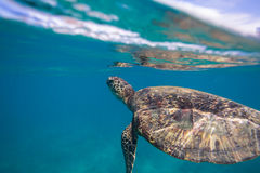 Sea Turtle Underwater. Sea turtle swimming in blue sea under water surface over coral reef stock photography