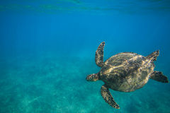 Sea Turtle Underwater. Sea turtle swimming in blue sea under water surface over coral reef royalty free stock photography
