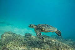 Sea Turtle Underwater. Sea turtle swimming in blue sea under water surface over coral reef royalty free stock photo