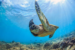 Sea Turtle Underwater. Sea turtle swimming in blue sea under water surface over coral reef stock images