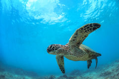 Sea Turtle Underwater. Sea turtle swimming in blue sea under water surface over coral reef royalty free stock photos