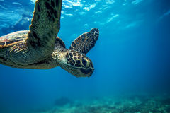 Sea Turtle Underwater. Sea turtle swimming in blue sea under water surface over coral reef stock photo