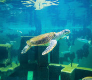 Sea turtle in underwater world Royalty Free Stock Image