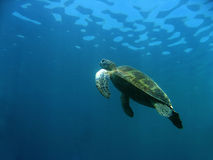 sea turtle Up for air sipadan borneo Stock Photography