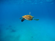 Sea turtle in warm water with blue background. Underwater photography of wild oceanic animal Royalty Free Stock Image