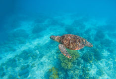 Sea turtle in water. Exotic island seaside environment in sea lagoon. Royalty Free Stock Images