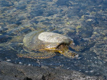 Sea turtle in the water on the  volcanic rocky  beach Stock Images