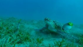Sea turtle will move to fin. From fish stock video footage
