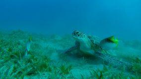 Sea turtle will move to fin Slow Motion. Sea turtle will move to fin from fish Slow Motion stock video