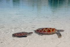 Sea Turtles. A pair of endangered green sea turtles leisurely swim in the clear waters of a Bora Bora lagoon Royalty Free Stock Photography