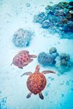 Sea turtles Royalty Free Stock Photo