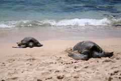 Sea Turtles. Two sea turtles bask in the sun on a sandy beach on the North Shore of Oahu, Hawaii Royalty Free Stock Images