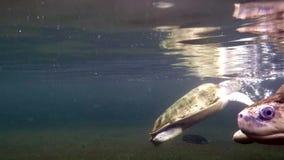 Sea turtles in aquarium. Pair of swimming sea turtles underwater shot stock video