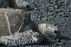 Sea Turtles. Close up of two sea turtles resting on a black sand beach Royalty Free Stock Photography