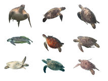 Sea turtles collection  isolated on white Stock Photos
