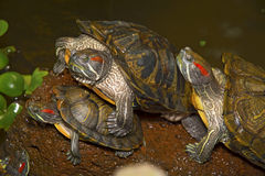Sea turtles crawling in the water enclosure, crawl around each other. Beautiful turtles play in the water Stock Photos