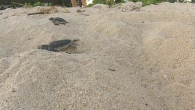 Sea turtles hatching from nest on sandy beach. Nosy Iranja, Madagascar. Africa stock footage
