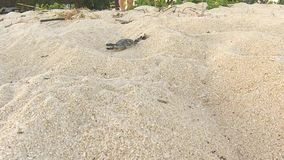 Sea turtles hatching from nest on sandy beach. Nosy Iranja, Madagascar. Africa stock video footage