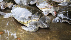 Sea turtles i Stock Photography