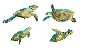 Sea turtles isolated Royalty Free Stock Photography