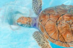 Free Sea Turtles Looking From The Water In The Reserve Royalty Free Stock Photo - 176492605