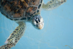 Sea turtles in nursery Stock Photography
