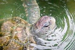Sea turtles in nursery, Thailand Royalty Free Stock Photo