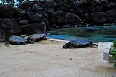 Sea turtles. In oahu Hawaii Royalty Free Stock Photography