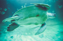 Sea turtles in oceanarium Royalty Free Stock Photo